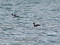 Black-necked Grebe (Podiceps nigricollis) (39945722973).jpg