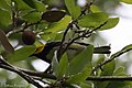 Black-throated Green Warbler Smith Oaks High Island TX 2018-04-18 15-37-00 (41947866761).jpg