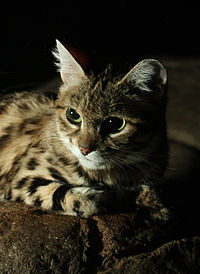 Black Footed Cat.jpg