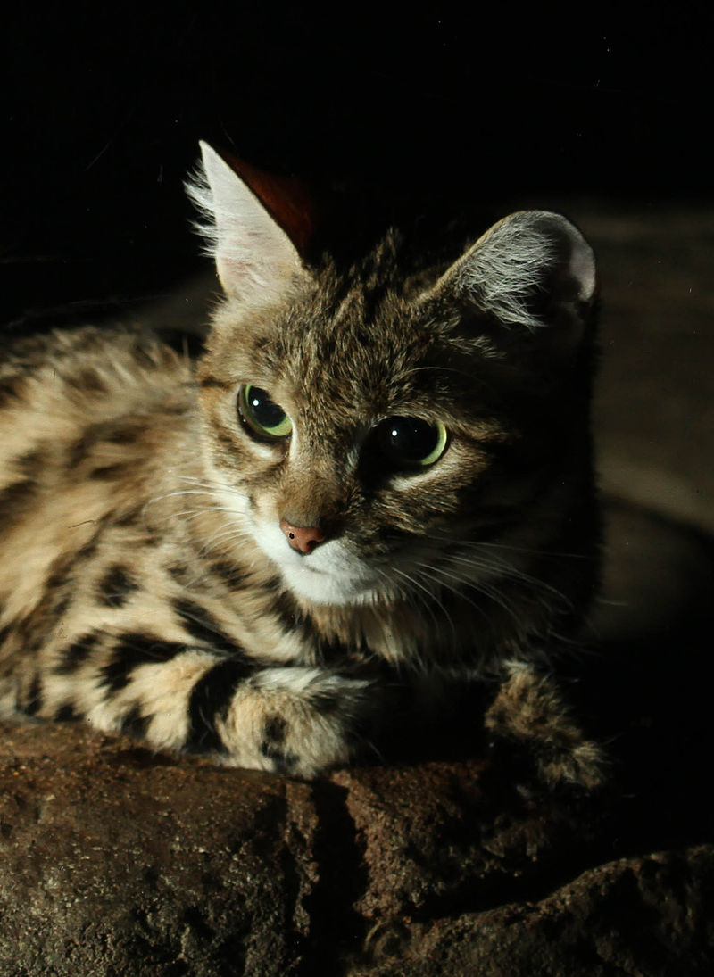 """Black Footed Cat"" by Mark Dumont - Flickr: Black Footed Cat. Licensed under CC BY 2.0 via Wikimedia Commons - https://commons.wikimedia.org/wiki/File:Black_Footed_Cat.jpg#/media/File:Black_Footed_Cat.jpg"