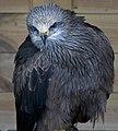 Black Kite (5634922703).jpg