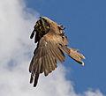 Black Kite 2a (6022412853).jpg