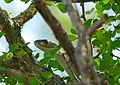Black Mamba (Dendroaspis polylepis) juvenile (under 2m) on top of a tree ... (30851333030).jpg