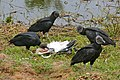 Black Vultures (Coragyps atratus) eating a dead Wood Stork (29136976302).jpg