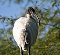 Black headed Ibis I IMG 8513.jpg