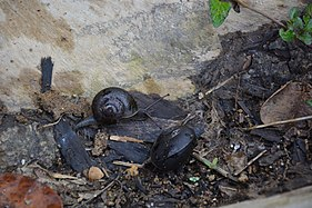 Black snail Martinique 01.jpg