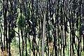 Blackened 9 months Ago - panoramio.jpg