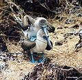 Blaufußtölpel (Sula nebouxii excisa)2.jpg
