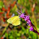 Blazing Star and Little Sulphur (5175762535)