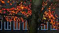 Blodlönn (Acer platanoides).jpg