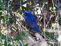 Blue Bunting, Cyanocompsa parellina, adult male.jpg