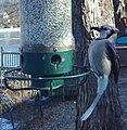 Blue Jay- Birdcam (4280136790).jpg
