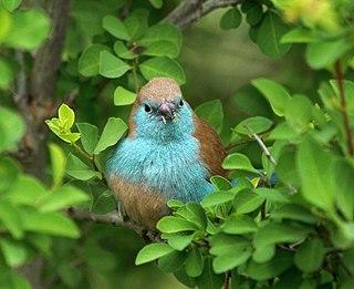 Blue waxbill species of bird