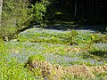 Bluebells Beside Castle Burn in Loch Ard Forest - geograph.org.uk - 1347124.jpg