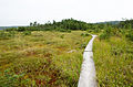 Boardwalk through Ponkapoag Bog Clearing.jpg