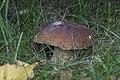 Boletus edulis 02b(js) Lodz (Poland).jpg