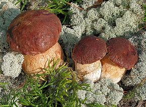 Description de l'image Boletus pinophilus cropped.jpg.