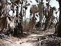 Borassus aethiopum 0057.jpg
