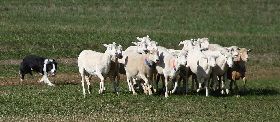 Border Collie sheepdog trial