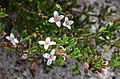 Boronia nana pubescens.jpg