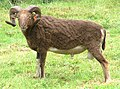 Borris the ram shorn.jpg
