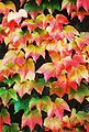 Boston ivy (Parthenocissus tricuspidata).jpg
