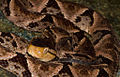 Bothrops asper (Sierra Llorona, Panama).jpg