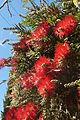 Bottle Brush hedge Pereira Portugal 07.03.16 (25473819932).jpg