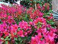 Bougainvillea glabra of Bangladesh 04.jpg