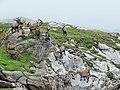 Bouquetins près du col de la Vanoise, 2014 (102).jpg