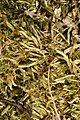 Brachythecium albicans 68500210.jpg
