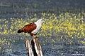 Brahminy kite. (24563862818).jpg