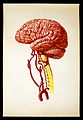 Brain; lateral view. Colour lithograph by Brocades Great Bri Wellcome V0018378.jpg
