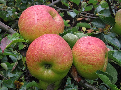 Bramley's Seedling Apples