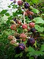 Branch full of blackberries.jpg
