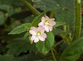 Broad-leaved Willowherb (Epilobium montanum) flowers (3939134812).jpg
