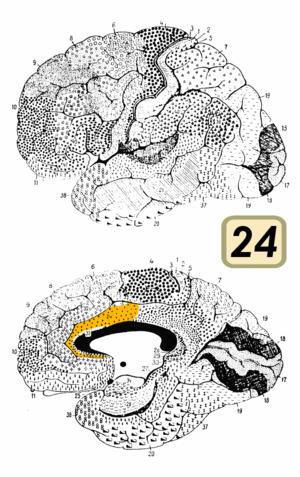 Brodmann area 24 - Brodmann area 24 (shown in orange)