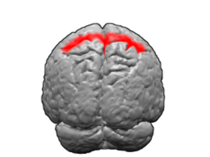 Brodmann area 5 - Image of brain with Brodmann area 5 shown in red