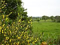 Broom in flower - geograph.org.uk - 179007.jpg