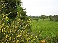 Broom in flower - geograph.org.uk - 179007.jpg