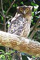 Brown Fish Owl (Ketupa zeylonensis), Thrissur, Kerala.JPG