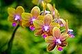 Brown Orchid (3002843822).jpg