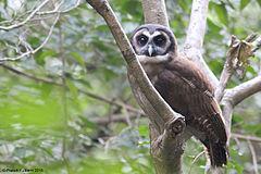 240px brown wood owl1