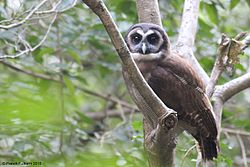 Brown Wood Owl1.jpg