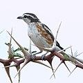 Brubru, Nilaus afer, at Marakele National Park, Limpopo, South Africa (39838184543).jpg