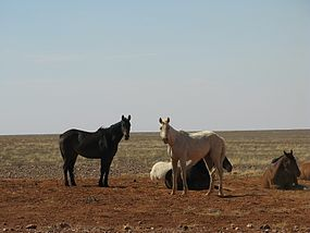 Brumbies next to the Innamincka Track-2.jpg