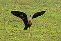 Buff-necked Ibis (Theristicus caudatus) (28743370650).jpg