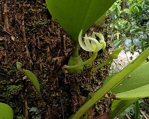 Bulbophyllum - Image: Bulbophyllum baileyi var alba