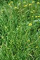 Bunias orientalis eF.jpg