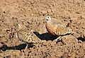 Burchell's sandgrouse, Pterocles burchelli, at Mapungubwe National Park, Limpopo, South Africa (17791151220).jpg